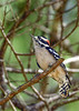 DownyWoodpecker(male)-OcalaNF-9-30-20-sjs-01