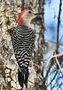 Red-BelliedWoodpecker-SawgrassPreserveFL-11-11-18-SJS-001