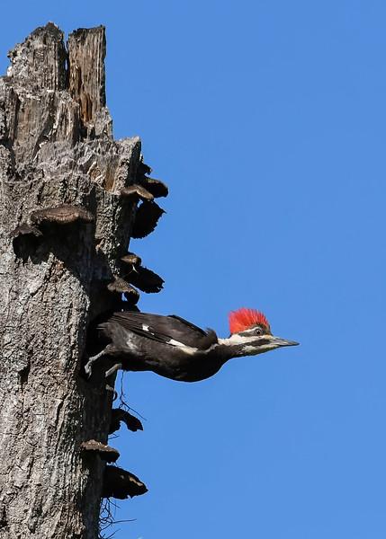PileatedWoodpecker-MeadGardens-4-16-19-SJS-021