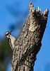 DownyWoodpecker-TosohatcheeWMA-1-3-19-SJS-001