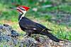 PileatedWoodpecker-MeadGardens-4-16-19-SJS-014
