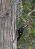 PileatedWoodpecker-LakeLouisaSP-3-4-20-SJS-003