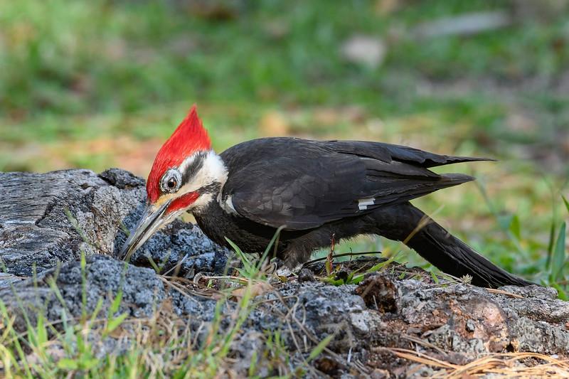 PileatedWoodpecker-MeadGardens-4-16-19-SJS-015