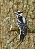 DownyWoodpecker(male)-LYE-3-13-19-SJS-023