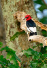 Red-HeadedWoodpecker-sjs-2015-001