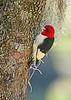 RedHeadedWoodpecker-NewberryFl-1-24-17-SJS-04
