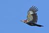 PiliatedWoodpecker-OcalaNF-6-21-20-SJS-08