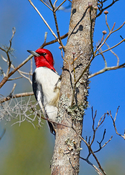 RedHeadedWoodpecker-NewberryFl-1-24-17-SJS-07