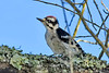 DownyWoodpecker(male)-OcalaNF-6-21-20-SJS-01