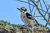 DownyWoodpecker(male)-OcalaNF-6-21-20-SJS-01