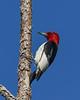 RedHeadedWoodpecker-OcalaNF-6-17-20-SJS-06