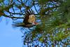 PileatedWoodpecker-OcalaNF-1-13-20-SJS-014