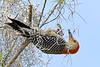 RedBelliedWoodpecker-LakeLouisaSP-3-4-20-SJS-002