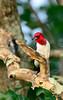 Red-HeadedWoodpecker-sjs-2015-004
