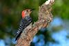 RedBelliedWoodpeckerPinewoodsTreefrog-LakeYaleFL-2016-SJS-002