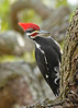 PileatedWoodpecker-ApopkaFL-1-20-18-SJS-030