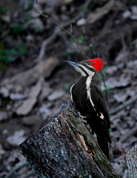PileatedWoodpecker-Female-2016-sjs-006