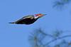 PileatedWoodpecker-SawgrassIsland-3-12-20-SJS-002