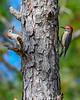 RedBelliedWoodpecker-LakeYale-11-24-19-SJS-003