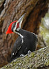 PileatedWoodpecker-ApopkaFL-1-20-18-SJS-024