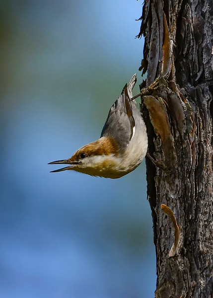 Brown-HeadedNuthatch-TosohatcheeWMA-1-3-19-SJS-003