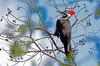 PileatedWoodpeckerTampaFL-2015-sjs-006