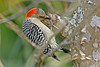 RedBelliedWoodpecker-LAWD-2-3-18-SJS-018