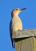 RedBelliedWoodpecker-LakeYaleEstatesFl-1-14-17-SJS-004