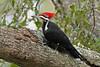 PileatedWoodpecker-ApopkaFL-1-20-18-SJS-008