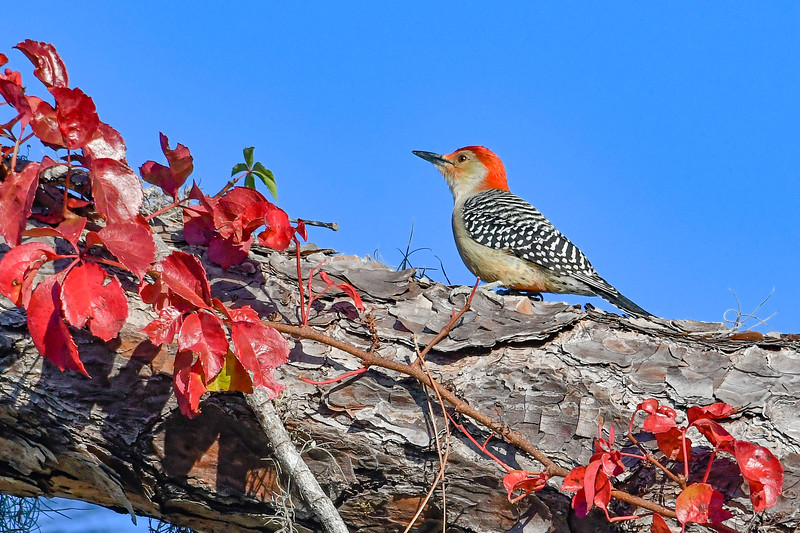 RedBelliedWoodpecker-PineMeadows-12_4_19-SJS-003