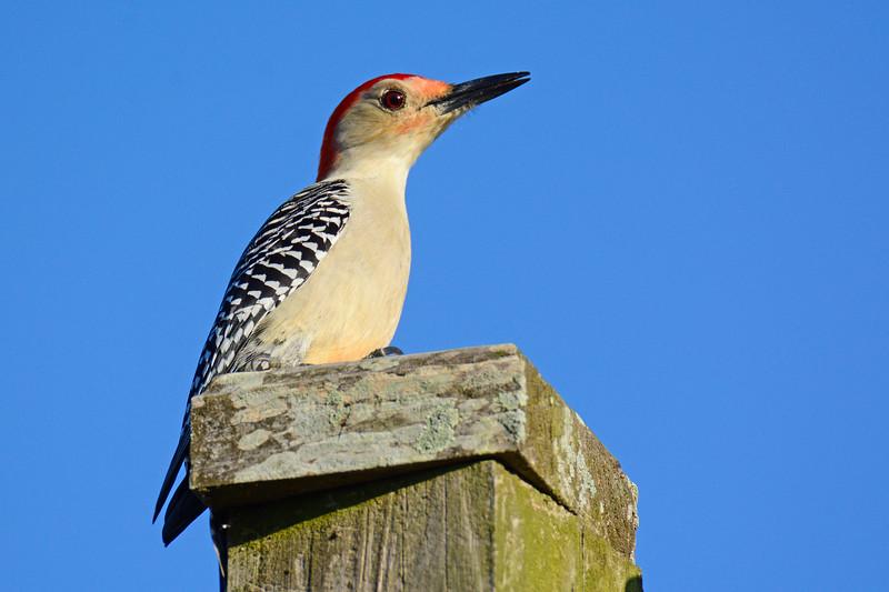 RedBelliedWoodpecker-LakeYaleEstatesFl-1-14-17-SJS-001