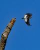 RedHeadedWoodpecker(immature)-OcalaWetlandRP-10-30-20-sjs-03