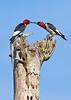 RedHeadedWoodpecker-OcalaNF-7-15-2020-SJS-02