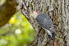 Red-BelliedWoodpecker-LYE-3-9-19-SJS-003