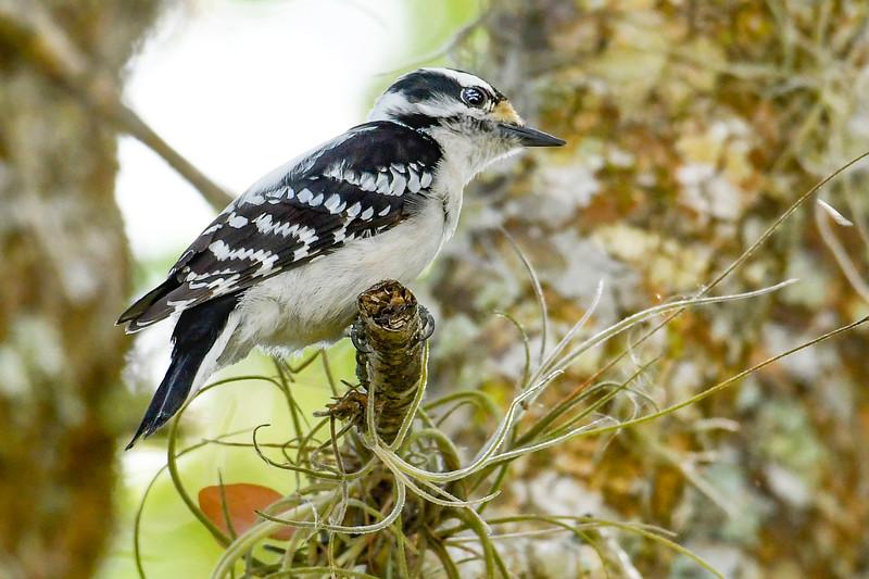 DownyWoodpecker(male)-LYE-3-13-19-SJS-021