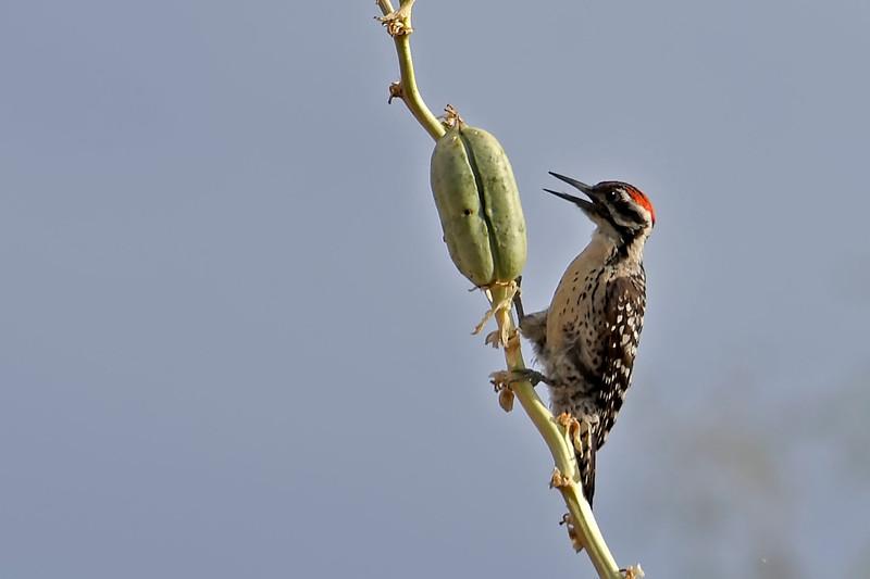 LadderbackedWoodpecker-NewMexico-7-3-18-SJS-002