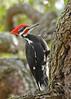 PileatedWoodpecker-ApopkaFL-1-20-18-SJS-032