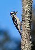 DownyWoodpecker-TosohatcheeWMA-1-3-19-SJS-003