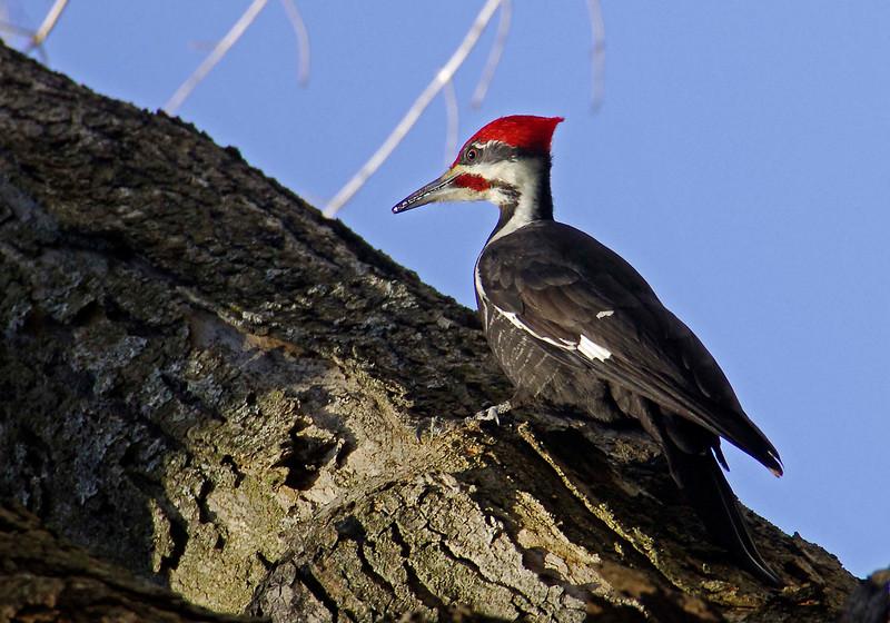 PileatedWoodpecker(male)-07