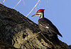 PileatedWoodpecker(male)-07