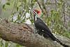 PileatedWoodpecker-ApopkaFL-1-20-18-SJS-005