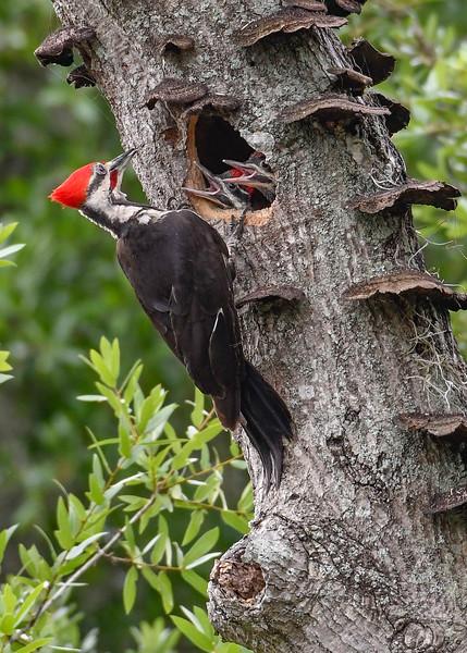 PileatedWoodpecker-MeadGardens-4-16-19-SJS-004