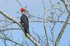 PileatedWoodpecker-LAWD-10-25-19-SJS-001