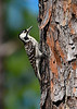 RedCockadedWoodpecker-ClearWaterLake-1-7-20-SJS-004