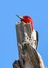 RedHeadedWoodpecker-OcalaNF-7-2-20-sjs-008