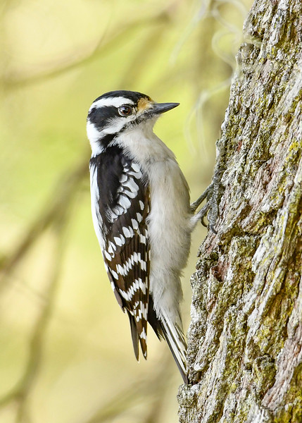 DownyWoodpecker(male)-LYE-3-13-19-SJS-019