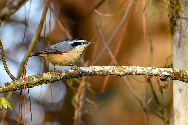 Red-BreastedNuthatch-PineMeadowsCA-2-11-19-SJS-002