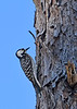 RedCockadedWoodpecker-ClearWaterLake-1-7-20-SJS-001