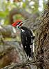 PileatedWoodpecker-ApopkaFL-1-20-18-SJS-034