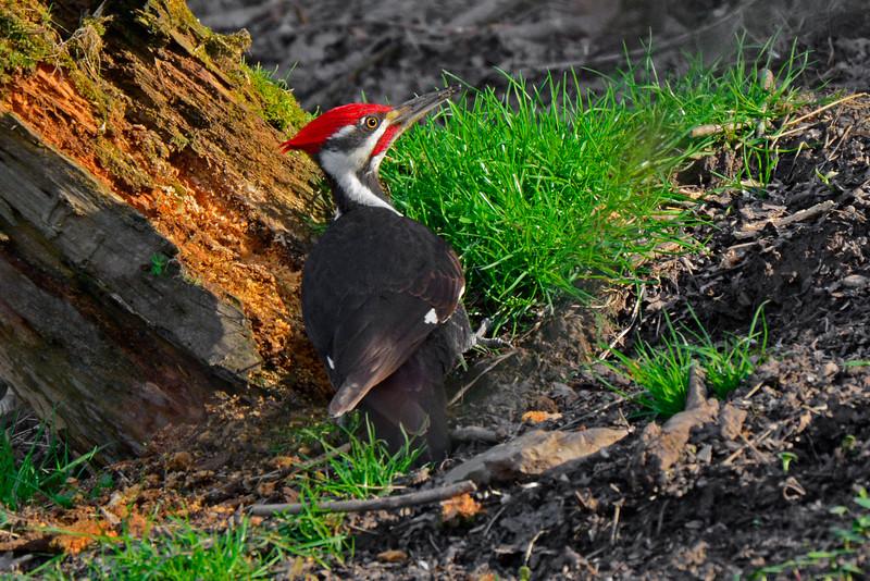 PileatedWoodpecker-Male-2016-sjs-007